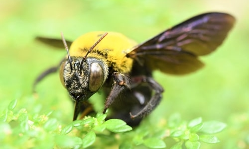 Carpenter Bees, Let's Drill Down on What They Are All About