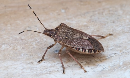 The Stink on Stink Bugs